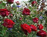 Роза Luxor (Люксор), фото 4
