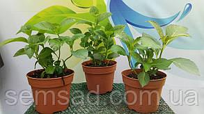 Гортензия крупнолистная Мэджикал Гринфайр \Hydrangea macrophylla Magical Greenfire( саженцы С1.5л ), фото 2