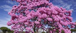 По дарко Pau D'arco (Кора муравьиного дерева)