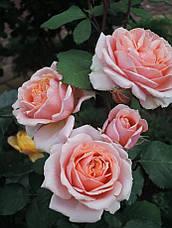 Роза Поль Бокус (Paul Bocuse) Шраб', фото 3