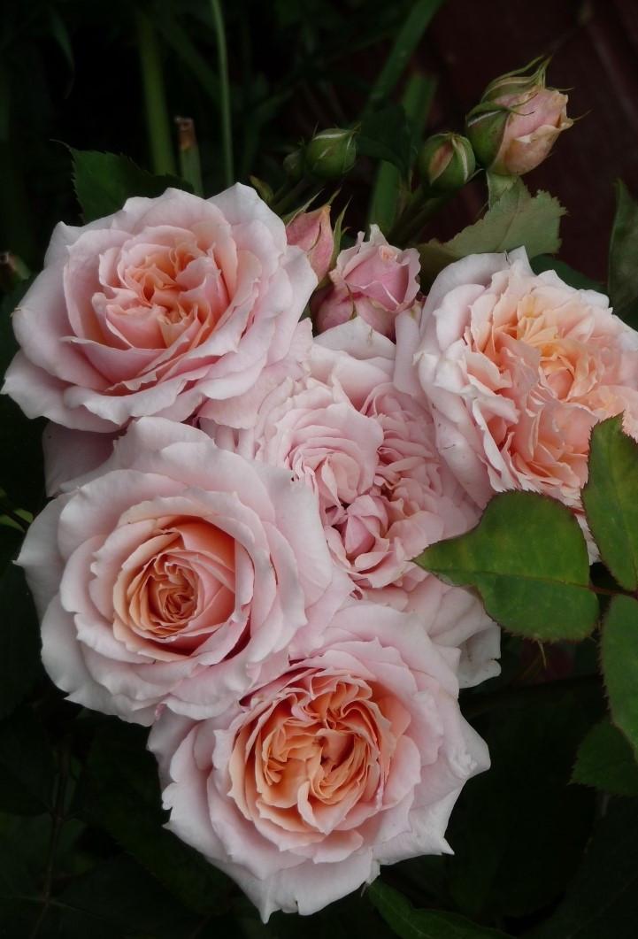 Роза Поль Бокус (Paul Bocuse) Шраб'