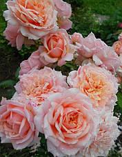 Роза Поль Бокус (Paul Bocuse) Шраб', фото 2