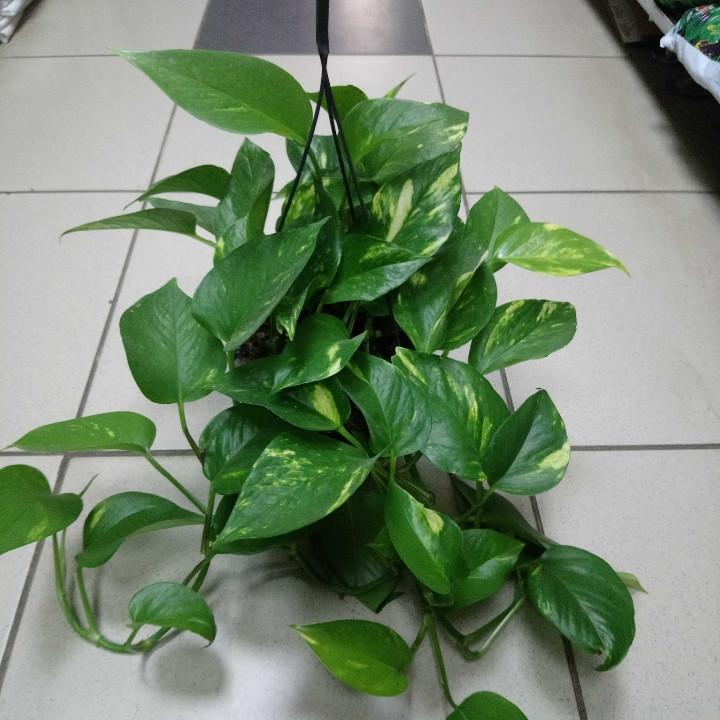Горшечное растение Эпипремнум расписной