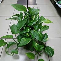 Горшечное растение Эпипремнум расписной, фото 1