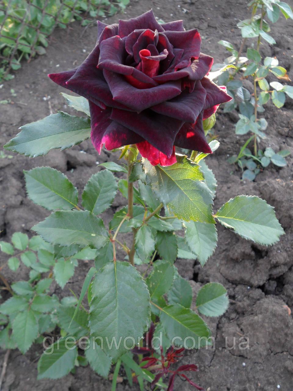 Саженцы роз Фокус-Покус