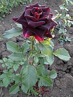 Саженцы роз Фокус-Покус, фото 1