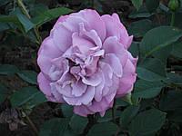 Саженцы роз Блу Парфюм