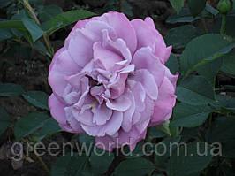 Саджанці троянд Блу Парфум