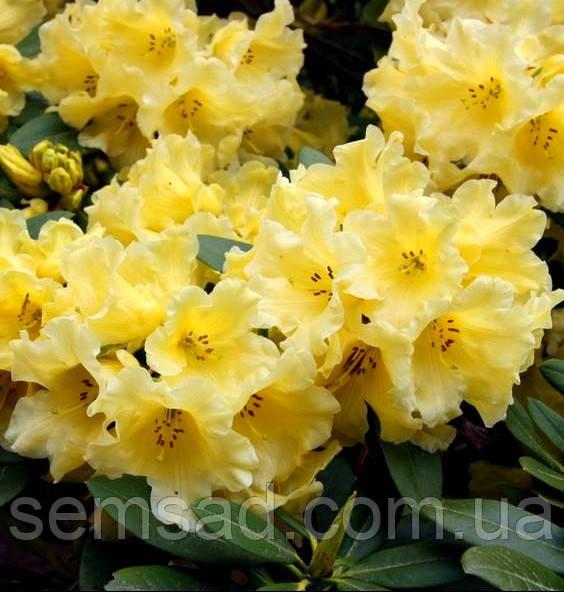 """Рододендрон """" Капистрано """" ( саженцы 3 года ЗКС ) (Rhododendron 'Capistrano')"""