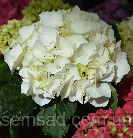 Гортензия крупнолистная Кларисса \ Hydrangea macrophyla Clarissa ( саженцы )
