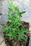 Плющ узколистный Sagittaefolia. Саженцы в контейнерах Д12, фото 2