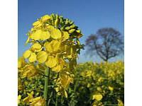 Семена озимого рапса Арсенал (Limagrain)