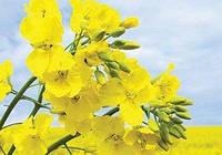 Семена рапса озимого Альбатрос (Limagrain)