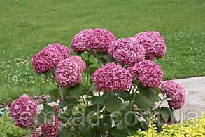 Гортензия древовидная `Пинк Аннабель  \  Hydrangea arborescens `Pink Annabelle ` ( саженцы 1 год ), фото 2