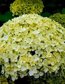 Гортензия древовидная Лайм Рики  \  Hydrangea arborescens `Lime Rickey` ( саженцы 2 года )
