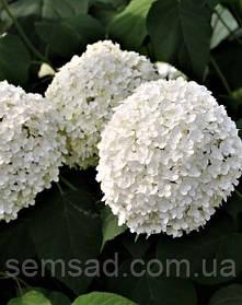 Гортензия древовидная Баунти  \  Hydrangea arborescens Bounty ( саженцы 2 года )