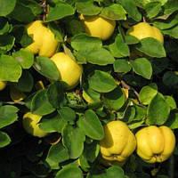 Айва яблоковидная Соковита