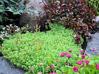 Седум испанский, вечнозеленые растения,растения для рокария, садовые цветы, многолетние растения