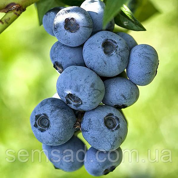 Голубика  Бригитта Блю \ Vaccinium corymbosum 'Brigitta' ( саженцы 2 года)