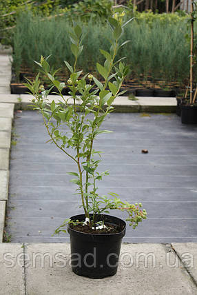 Голубика  Бригитта Блю \ Vaccinium corymbosum 'Brigitta' ( саженцы 2 года), фото 2