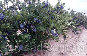 """Голубика """" Норт Кантри""""  \ Vaccinium corymbosum 'Toro' ( саженцы 2 года) ЗКС, фото 2"""