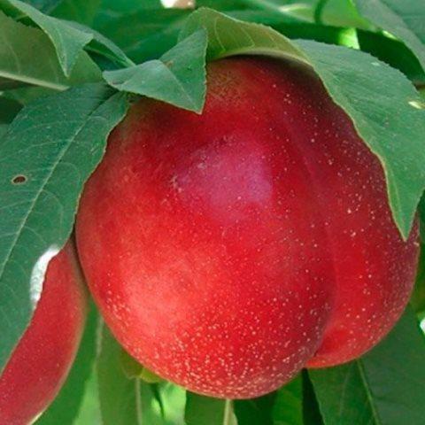 Колоновидный гибрид сливы и персика Сливовый нектарин