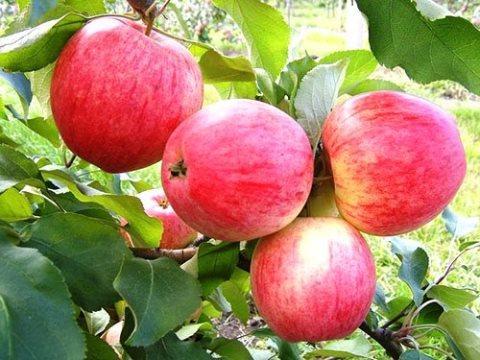 Яблуня Цукеркове