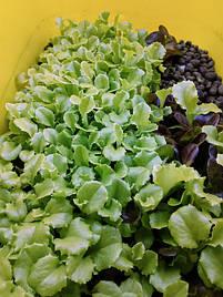 Салат-микрозелень на Green Kit 6
