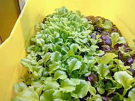 Салат-микрозелень на Green Kit 7