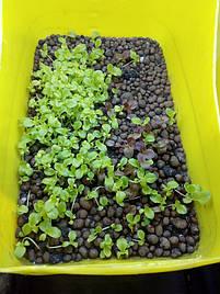 Салат-микрозелень на Green Kit 4