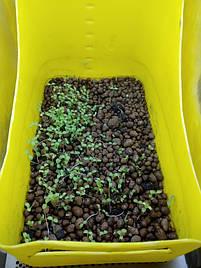 Салат-микрозелень на Green Kit 3