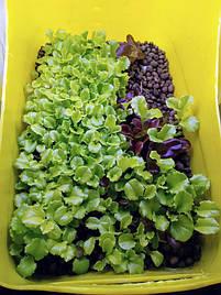 Салат-микрозелень на Green Kit 5