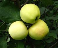 Яблоня Богемия Голд (карликовый подвой М9)