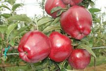 Яблоня Ред Чиф (карликовый подвой М9)