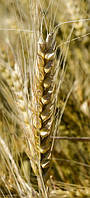 Семена озимой пшеницы Наснага (элита)