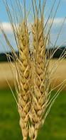 Семена озимой пшеницы Мирлена (элита)