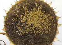 Семена подсолнечника Сады Украины НС Константин фракция эконом 2,4-2,6 мм