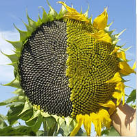Семена подсолнечника Сады Украины НС-Х-26749 (ЛАТИТУДА) фракция экстра+ 3,2-3,6 мм