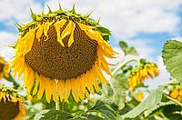 Семена подсолнечника Сады Украины Гольфстрим фракция экстра+ 3,2-3,6 мм.