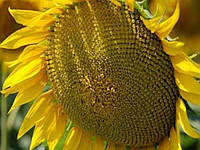 Семена подсолнечника Сады Украины НС-Х-558 под Гранстар фракция экстра+ 3,2-3,6 мм