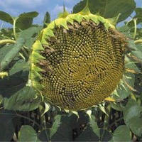 Семена подсолнечника Сады Украины НС-Х-6749 (Огниен) фракция экстра 2,8-3,0 мм