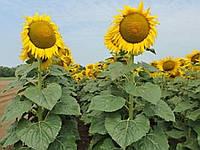 Семена подсолнечника Сады Украины НС-Х-6342 под Евролайтинг фракция эконом 2,4-2,6 мм