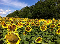 Семена подсолнечника Сады Украины НС-Х-1749 под Гранстар фракция экстра+ 3,2-3,6 мм