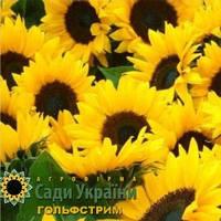 Семена подсолнечника Сады Украины Гольфстрим фракция экстра 2,8-3,0 мм
