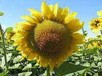 Семена подсолнечника Сады Украины Равенна (Бомбардиер) фракция экстра+ 3,2-3,6 мм