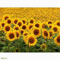 Семена подсолнечника Сады Украины Драган фракция экстра 2,8-3,0 мм
