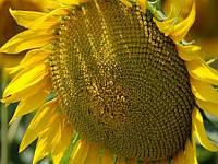Семена подсолнечника Сады Украины НС-Х-558 под Гранстар фракция эконом 2,4-2,6 мм
