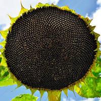 Семена подсолнечника Alfa Seeds Тео под Евролайтинг фракция стандарт