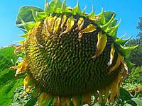 Семена подсолнечника НСХ-26752 фракция стандарт