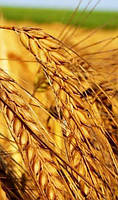 Озимая пшеница Нива Одесская (элита)